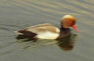 Ente von unbekannter Art