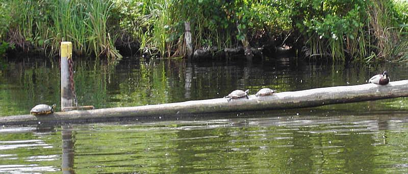 Rotwangenschildkröten beim sonnen