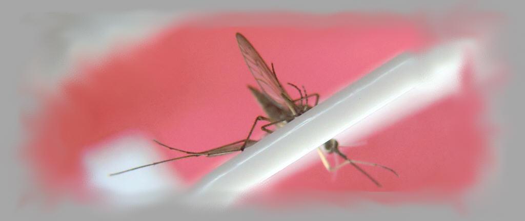Mücke in Fliegenklatsche